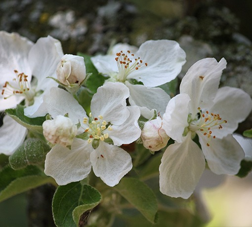 Fleurs de Pommiers © Tourisme 61
