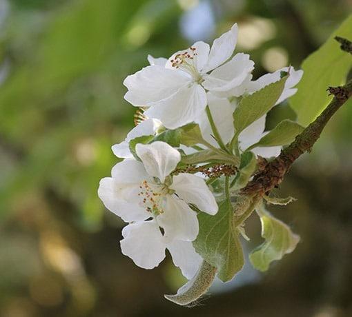 Fleurs pommiers © Tourisme 61